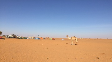 A friendly camel checking out our campsite.