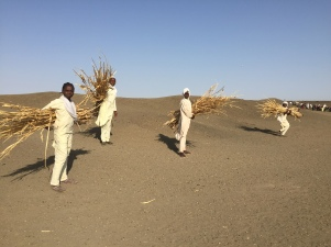 Girls collecting siorghum
