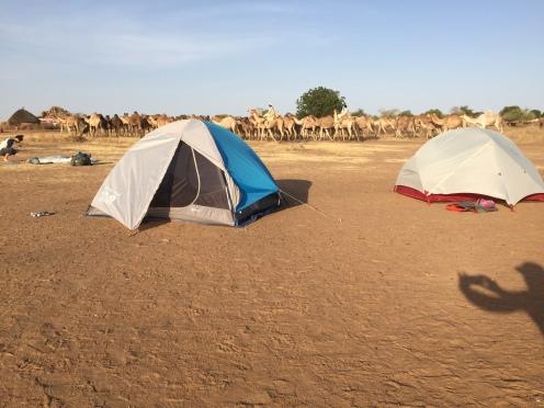 Camels prancing through camp
